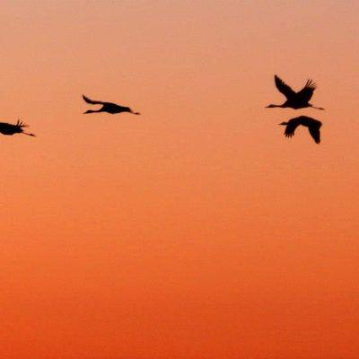 4 curiositats sobre les aus migratòries
