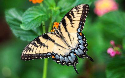 11 papallones sorprenents de Catalunya